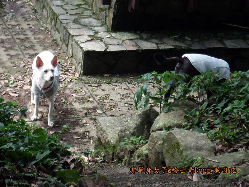 哈士奇Doggy2012陽明山二子坪08