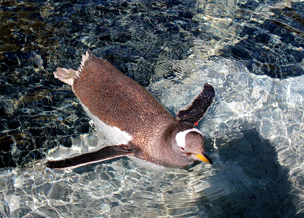 bergen-aquarium-penguin-swimming