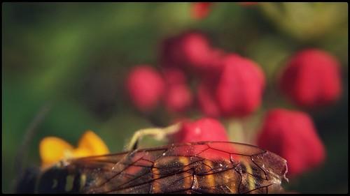 insect bee hoverfly wings details strips gold yellow red green brown black orange texture wingveins veins gossamer sunny summer flowers tropicalmilkweed milkweed cellphone phonephoto iphone iphone5s externallens olloclip macro closeup dof bokeh phoneography iphoneography ipad ipaddarkroom apps snapseed nature naturelovers artofnature earthnature abstractnature galena maryland marylandnature iphonenature patterns 365
