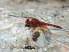 Red Rock Skimmer (Paltothemis lineatipes) by kaeagles