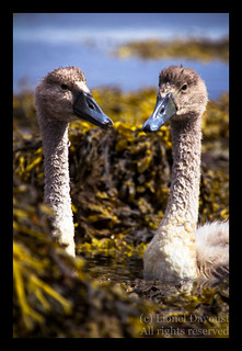 Cygnus chicks