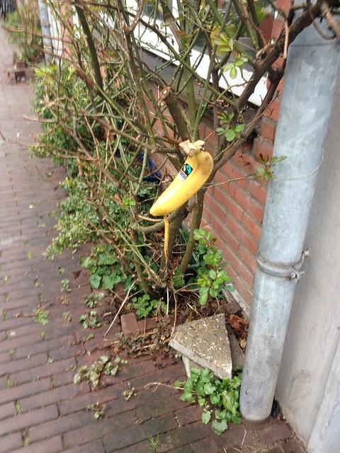 banana bush