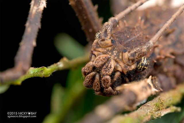 Stick insect (Phasmatodea) - DSC_4291