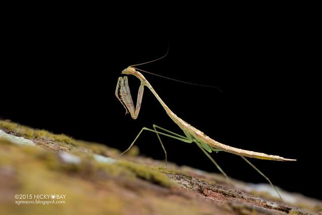 Mantis (Mantodea) - DSC_4800