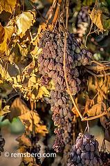 CENTRAL VALLEY, CALIFORNIA - Dried on vine raisins