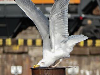Seagull yoga