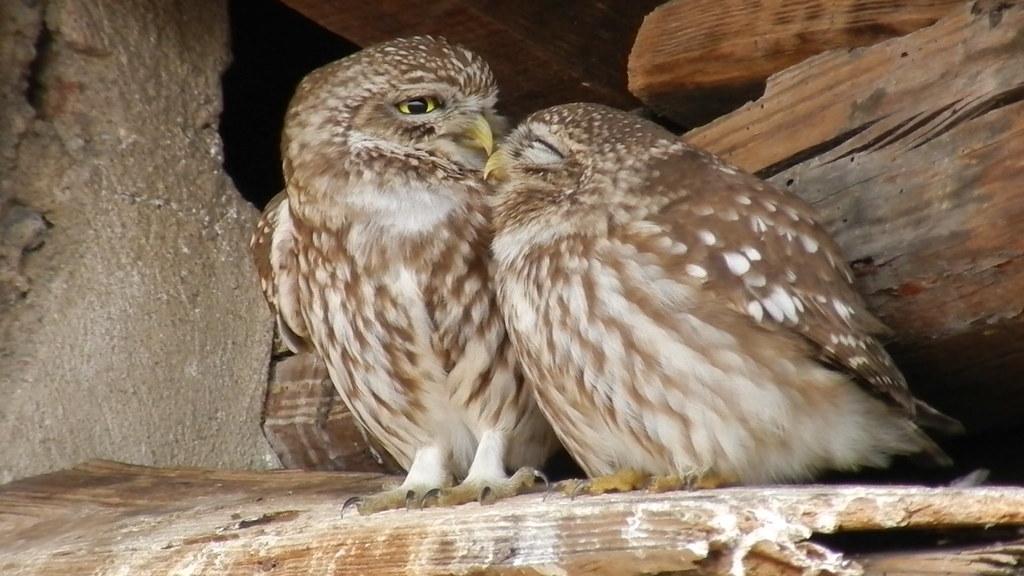 Coppia Civette / Couple Little owl (Athene noctua)