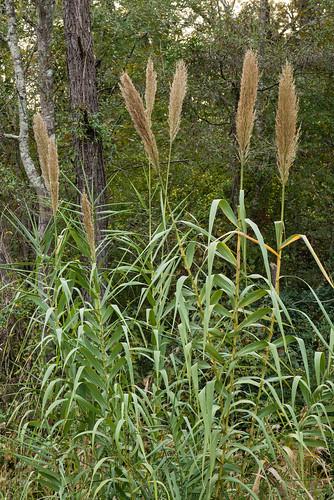 poaceae usf monocots arundodonax giantreed