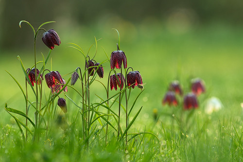 3 Jahre vor - Schachbrettblume (translated Word by Word chess Game/board flower) in the UK known as Shake s Head fritilaries succesful established in my wild Garden.   K98A3577_kl2
