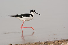 stork(0.0), sandpiper(0.0), animal(1.0), fauna(1.0), ciconiiformes(1.0), stilt(1.0), shorebird(1.0), beak(1.0), bird(1.0), wildlife(1.0),