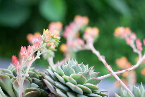 Succulents 3852