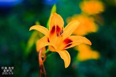 花蓮-金針花