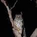 Powerful Owl by Jayden Walsh