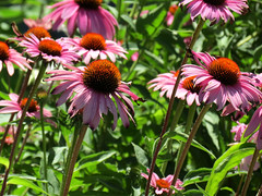 favorite coneflowers