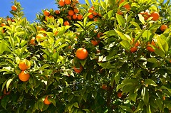 Branches with the fruits of the tangerine trees, V…