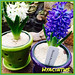 Hyacinths - Lafayette Florist, Gift Shop & Garden Center