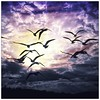 Early morning birds  #bird #birds #silhouette #sky #skyporn #cloudporn #clouds #purple #cloud #skies #skywatcher #skylovers