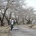 Secret row of cherry blossom trees