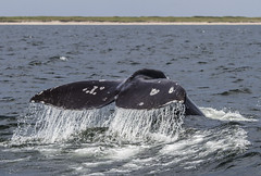 Western Gray Whale - Sakhalin Island, Russia