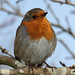 Robin in the garden #6 by Lord V
