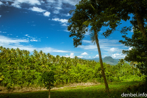 Hamparan Pohon Kelapa
