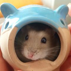 今日は甥っ子たちのバースデーパーティでした♡(≧∇≦) あずきもお祝いしてくれました♡ʕ̡̢̡*✪௰✪ૢʔ̢̡̢ 楽しかったね〜!(*^◯^*)   #あずき #ハムスター #ジャンガリアンハムスター #かわいい #宝物 #Azuki #hamster #djungarianhamster #kawaii #treasure #cuteness #cute #love