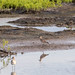 Black-bellied Plover (Pluvialis squatarola) por Chub G's M&D