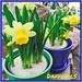 Daffodils - Lafayette Florist, Gift Shop & Garden Center