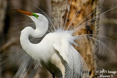 Great Egret Showing Off