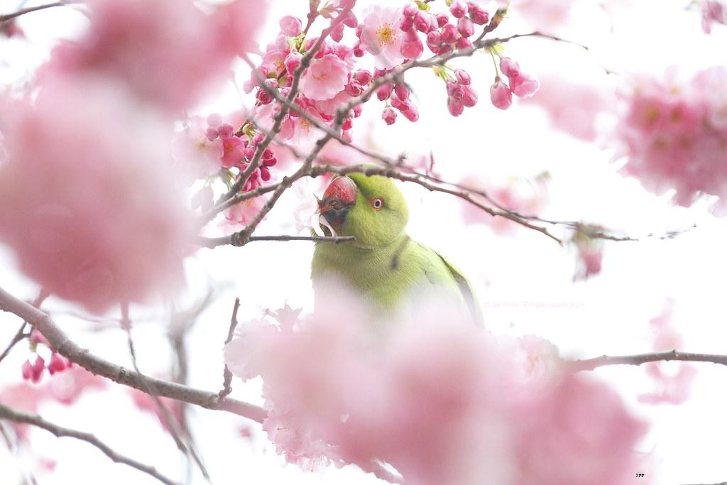 _MG_1994R Parakeet in a Sea of Pink, Jon Perry - Enlightenshade, 1-4-15 zak