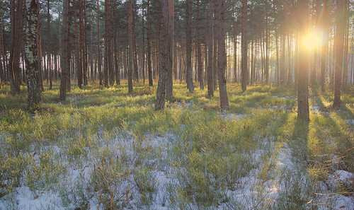 trees sunset sun snow nature pine forest landscape freedom golden spring woods peace latvia beam hour riga