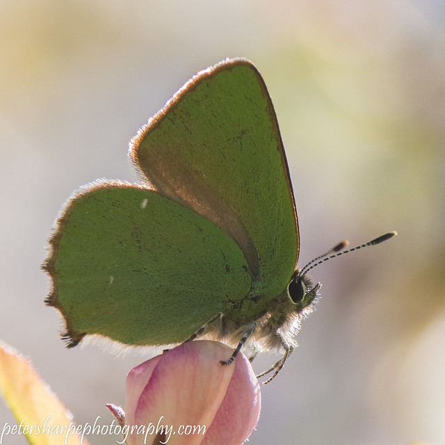 Green Hairstreak-1250