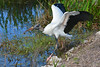 Wood Stork with Snack