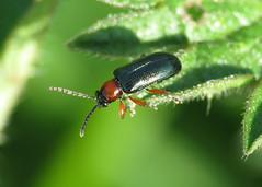 Cereal Leaf Beetle - Oulema rufocyanea/melanopus agg.