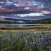 Lupine Sunset at Bass Lake by Darvin Atkeson