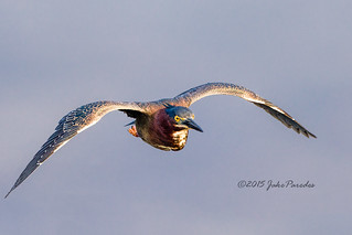 The flight of the Green Heron