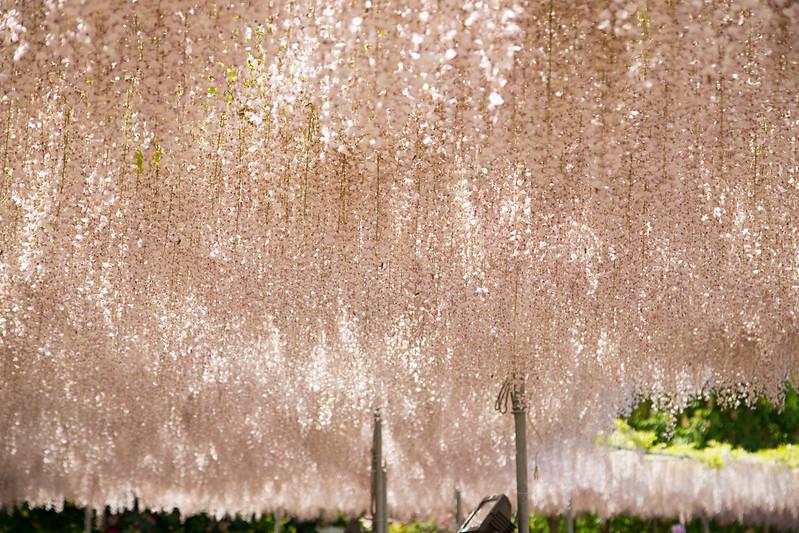 ashikaga_flowerpark-28