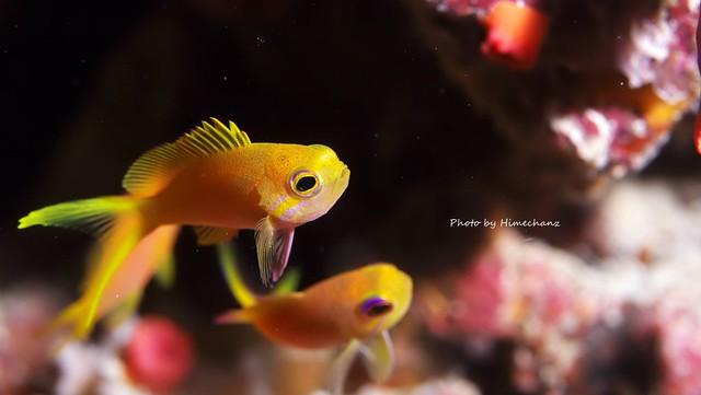 スミレナガハナダイ幼魚♪