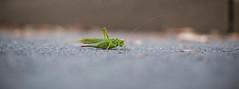 grasshopper..