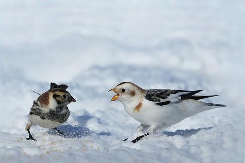 Bruant lapon vs plectrophane des neiges / lapland longspur and snow bunting argumenting about best picture framing.
