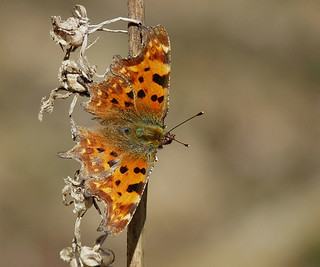 Comma Butterfly. 14th-April-2015.