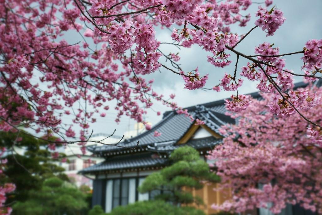 Very Early Sakura 2015