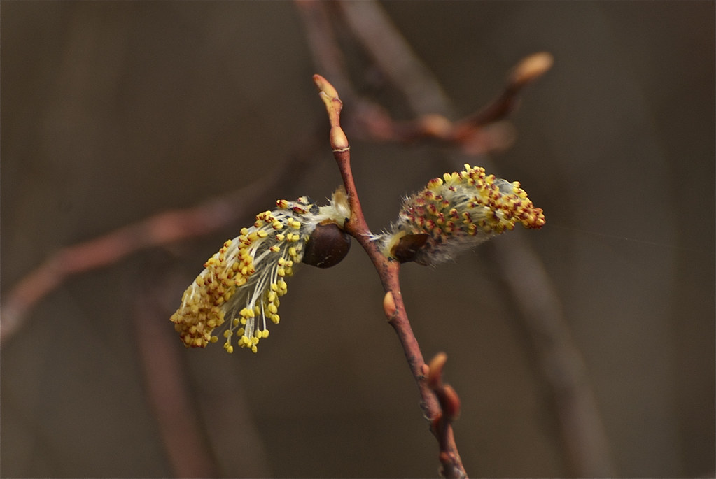 Pussy Willow ~ Catkins