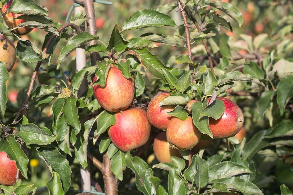 Æblemost (32)