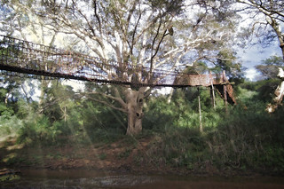 bridge into the fig forest