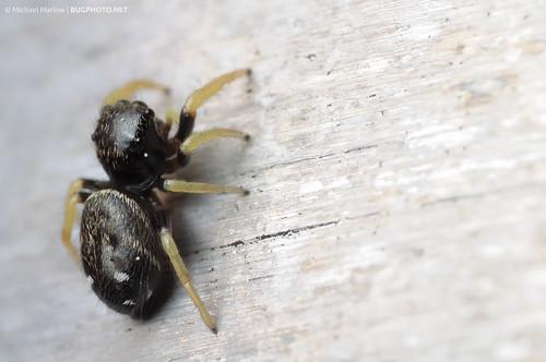 Handsome Back (Jumping spider)