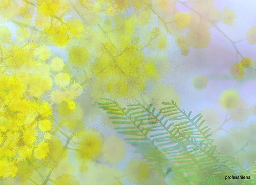 201504410 My mimosa, fresh from my imagination and my computer
