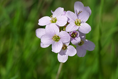 Cuckoo-flower (Cardamine pratensis)