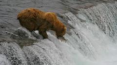 Temu niedźwiadkowi też się udało.
