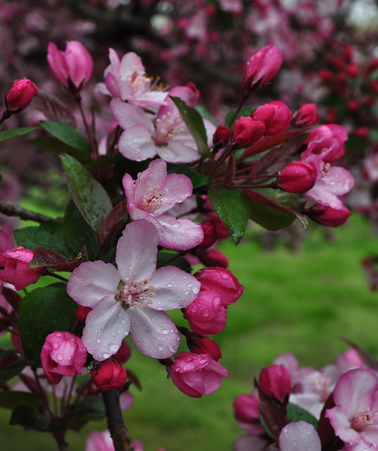 Malus 'Strawberry Parfait' (4)